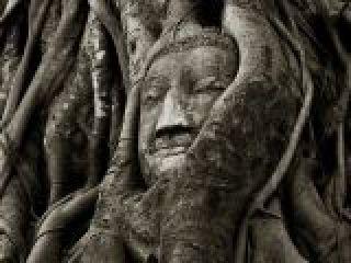 Thailandia, Ayutthaya, l'albero di Budda